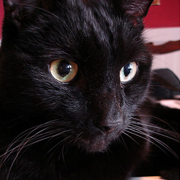 Bombay Cat Picture